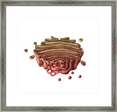 Golgi Apparatus Framed Print by Spencer Sutton
