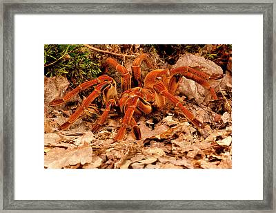 Goliath Bird-eater Spider, Theraphosa Framed Print by David Northcott
