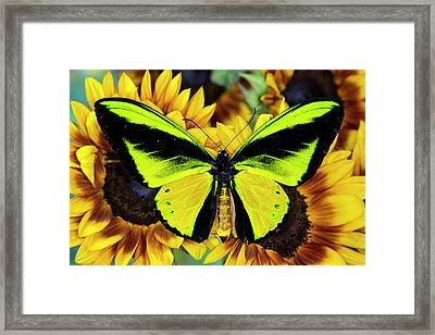 Goliath Birdwing Butterfly Framed Print by Darrell Gulin