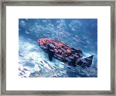Goliath Grouper Framed Print by Daniel Smith