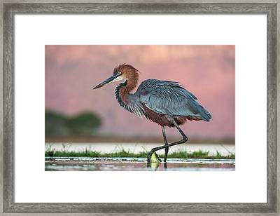 Goliath Heron Wading Framed Print by Tony Camacho