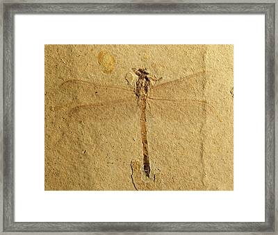 Gomphidae Dragonfly Fossil Framed Print by Gilles Mermet