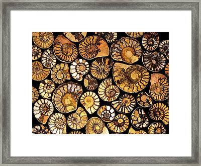 Goniatite Fossils Framed Print by Vaughan Fleming/science Photo Library