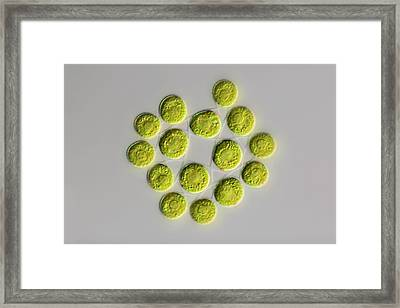 Gonium Green Algae Framed Print