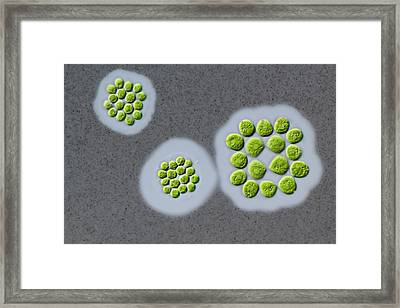 Gonium Sp. Green Alga Framed Print by Gerd Guenther