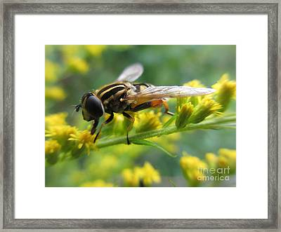 Good Guy Hoverfly  Framed Print