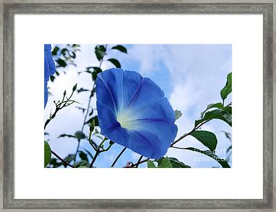 Good Morning Glory Framed Print