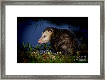 Framed Print featuring the photograph Good Night Possum by Olga Hamilton