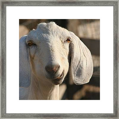 Goofy Goat Framed Print by Art Block Collections