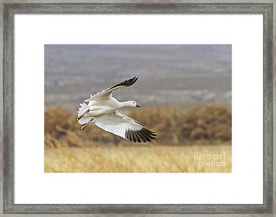 Goose Above The Corn Framed Print