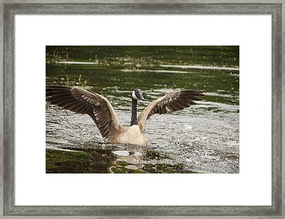 Goose Action Framed Print by Karol Livote