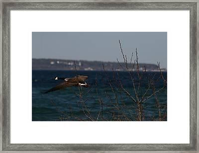 Goose Framed Print by Brady D Hebert