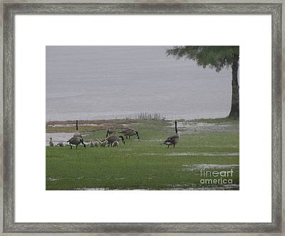 Goose Family Walk Framed Print by Joseph Baril