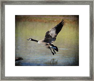 Goose In Flight 1 Framed Print