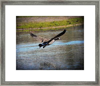 Goose In Flight 2 Framed Print