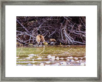 Goose On The Loose Framed Print by Omaste Witkowski