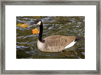Goose On The Water Framed Print by Joseph Skompski