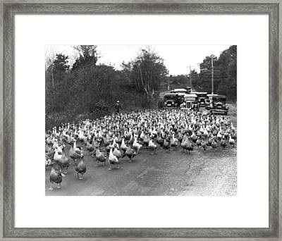 Goose Rush Hour On Rural Road Framed Print by Underwood Archives