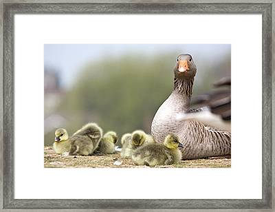 Goose With Baby Chicks Framed Print by John Short