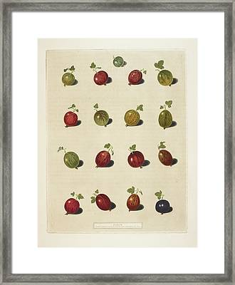Gooseberries Framed Print by British Library