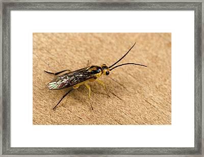 Gooseberry Sawfly Framed Print by Nigel Downer