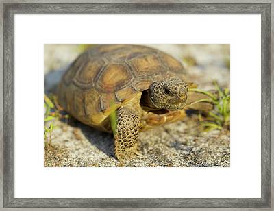 Gopher Tortoise, Gopherus Polyphemus Framed Print by Maresa Pryor