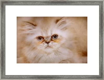 Gordon Framed Print by Pat Abbott