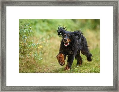 Gordon Setter Running In Grass Framed Print