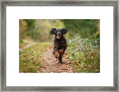 Gordon Setter Running    Framed Print by Izzy Standbridge