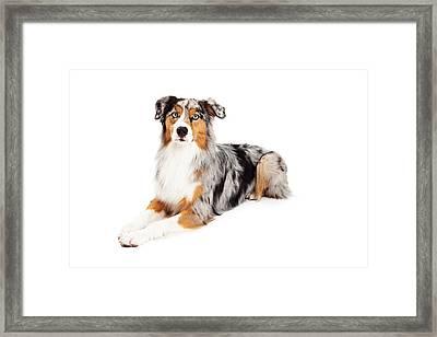 Gorgeous Australian Shepherd Dog Laying Framed Print