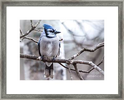 Gorgeous Blue Jay Framed Print by Cheryl Baxter