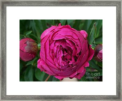 Gorgeous Cabbage Rose Peony Framed Print by Maureen Tillman