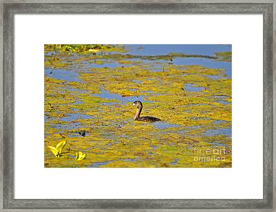 Gorgeous Grebe Framed Print by Al Powell Photography USA