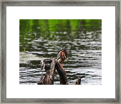 Gorgeous Green Heron Framed Print by Al Powell Photography USA