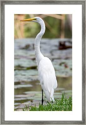 Gorgeous N Tall Great White Egret Framed Print by Sabrina L Ryan