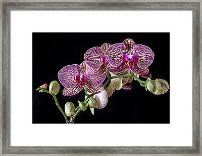Gorgeous Orchids Framed Print by Garry Gay