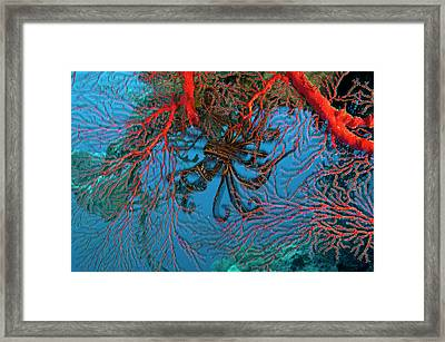 Gorgonian Coral In Kimbe Bay Framed Print