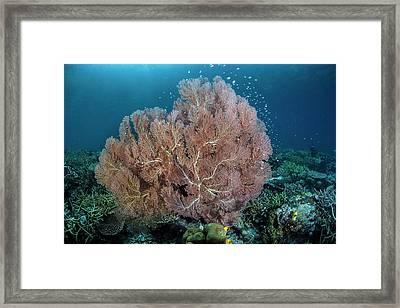 Gorgonian Sea Fan Framed Print by Ethan Daniels