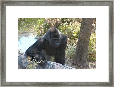 Gorilla 01 Framed Print by Donald Williams