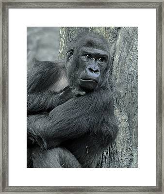 Gorilla Framed Print