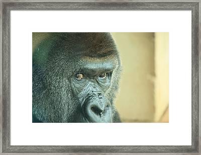 Gorilla's Look Framed Print by Adnan Elkamash