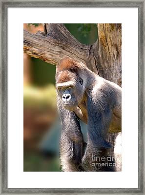 Gorilla Framed Print by Michael Edwards