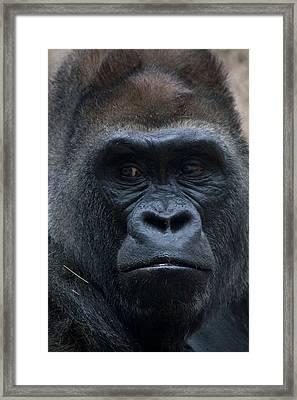 Gorilla Portrait Framed Print