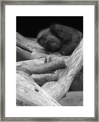 Gorilla Framed Print by Art Spectrum