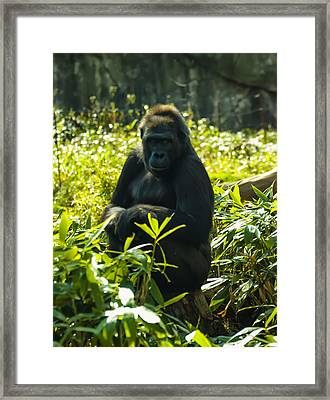 Gorilla Sitting On A Stump Framed Print