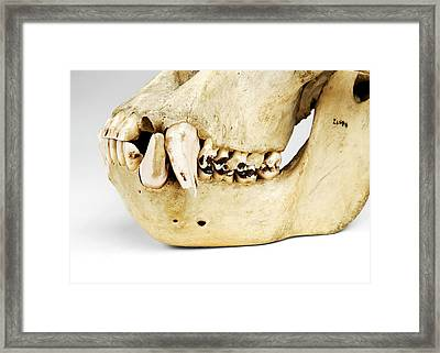 Gorilla Skull Framed Print by Ucl, Grant Museum Of Zoology
