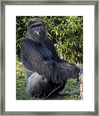 Gorillas In The Mist Framed Print by Frozen in Time Fine Art Photography
