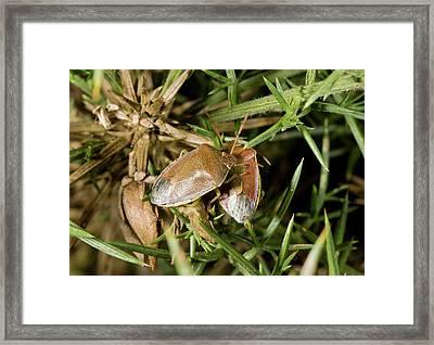 Gorse Shieldbugs Framed Print by Bob Gibbons