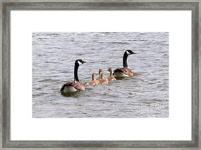Gosling Escort Framed Print