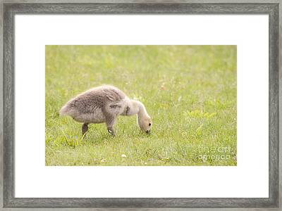 Framed Print featuring the photograph Gosling by Jeannette Hunt